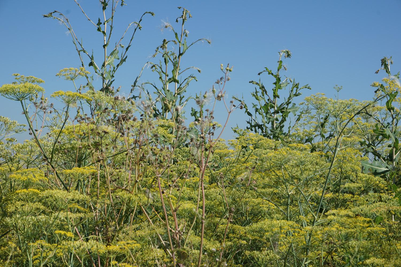Auch nach Anis duftende Felder lagen auf dem Weg.