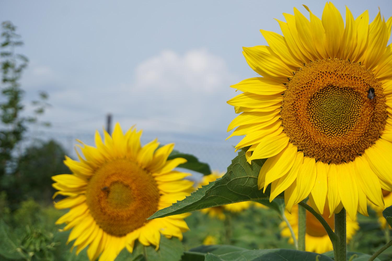 Sonnenblumen am Wegesrand