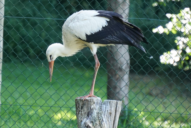 Storch im Storchengehege