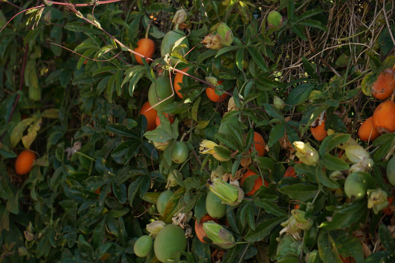 Merkwürdige Pflanzen, sehen aus wie Aprikosen, fühlen sich aber an, als wären sie innen hohl