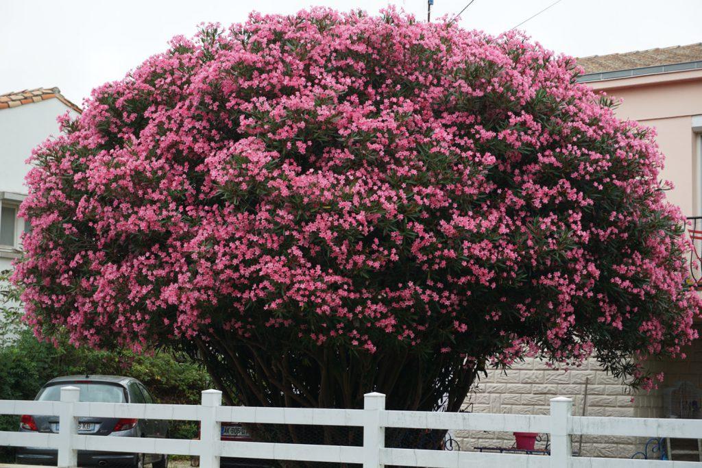 Gigantischer Oleander