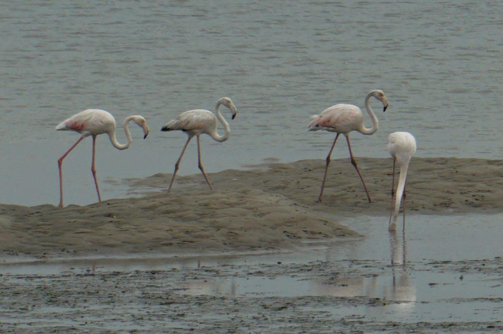 Flamingos in der Lagune bei Aveiro