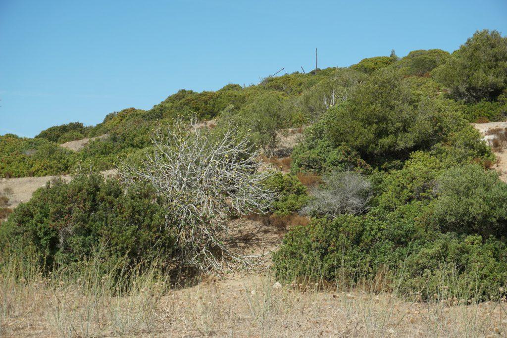 Feigenbaum mit frischen Feigen