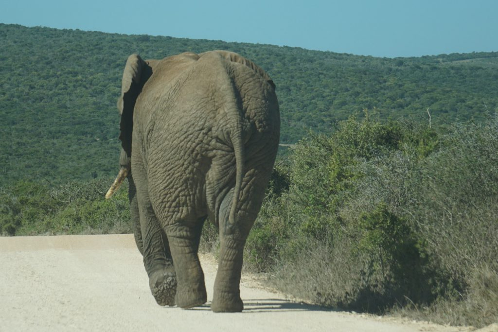 Gemütlich auf der Straße laufender Elefant