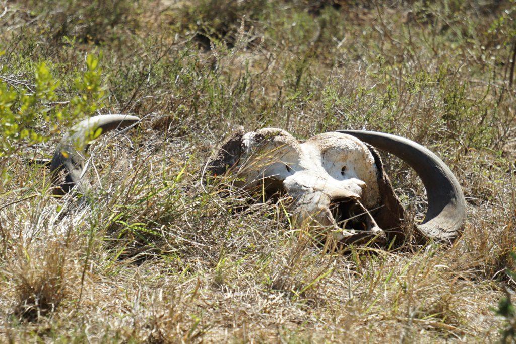 Von Wilderen getöteter Buffalo