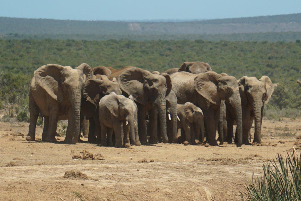 Schlafende Elefantenherde