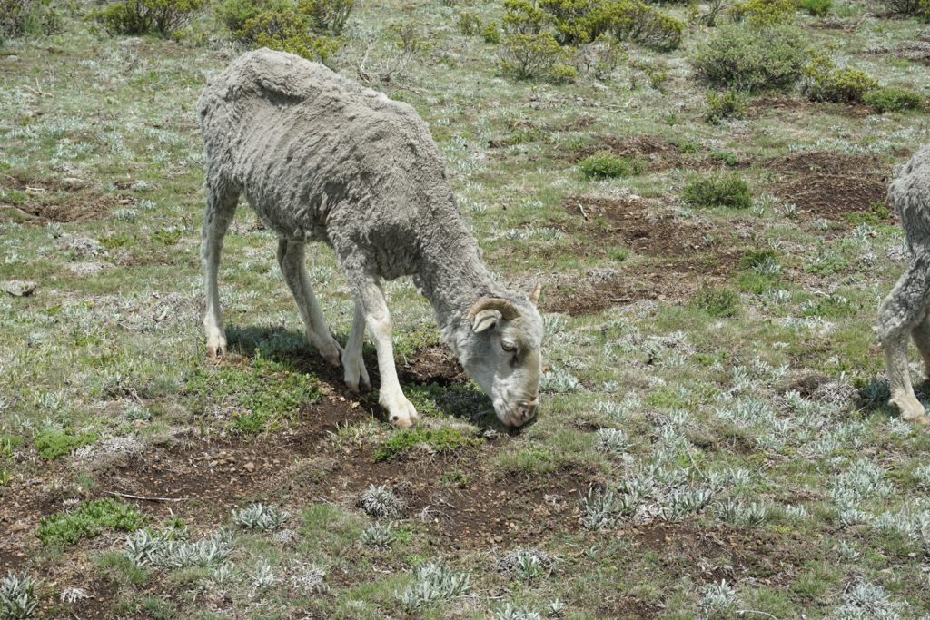 Hier ist für Schafe kaum was zu holen